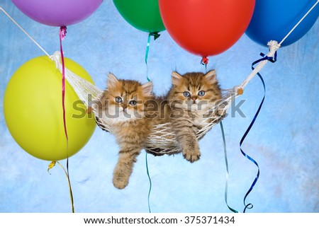 Golden Chinchilla Persian kittens lying in miniature hammock with floating balloons against blue background  - stock photo