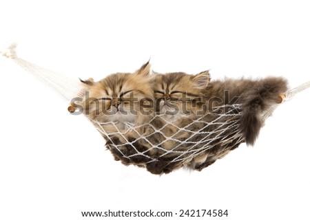 Golden Chinchilla Persian kittens sleeping in miniature hammock on white background  - stock photo