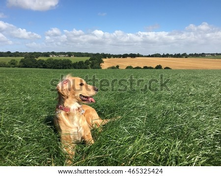 Golden cocker spaniel dog taking an off lead walk in open English countryside on a fine summers day
