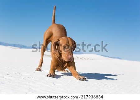golden color dog in play-bow position outdoors - stock photo