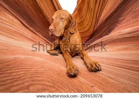 golden color dog laying in Coyote Butte - stock photo