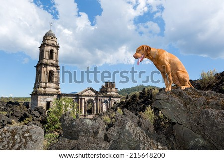 golden color dog sitting on lava rock at the buried  San Juan Parangaricutiro Church by the Paricutin volcano in Mexico - stock photo