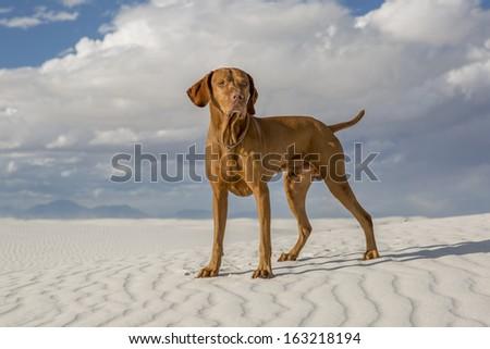 golden color male vizsla dog standing in a white sand desert - stock photo