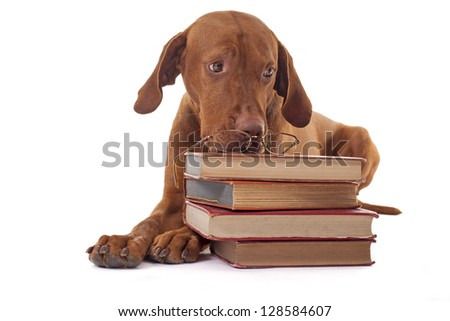golden color pure breed innocent puppy with a pile of book in front