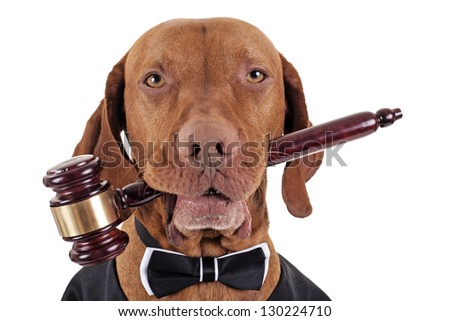golden color pure breed vizsla dog holding a wooden gavel in mouth isolated on white background - stock photo