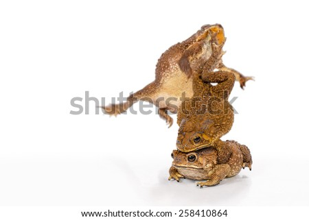 Golden color skin and orange neck toad are mating and kick out a contender on White background, Toads are associated with drier skin and more terrestrial habitats than animals commonly called frogs - stock photo