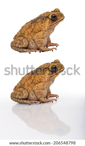 Golden color skin and orange neck toad on White background and isolated.  Toads are associated with drier skin and more terrestrial habitats than animals commonly called frogs - stock photo