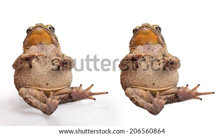 Golden color skin and orange neck toad site like a baby  on White background and isolated.  Toads are associated with drier skin and more terrestrial habitats than animals commonly called frogs - stock photo