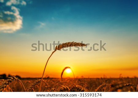 golden color wheat ear on field and sunset - stock photo