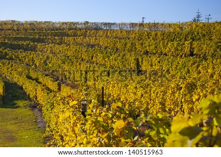 Golden-colored vineyard in dramatic sunlight