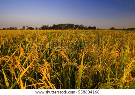 Golden colour rice field