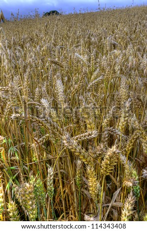 Golden crop in field ready for harvest - stock photo