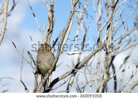 Golden Crowned Sparrow in a leaf bare tree with blue sky and clouds in background in Coyote Hills California. The golden-crowned sparrow, Zonotrichia atricapilla, is a large American sparrow