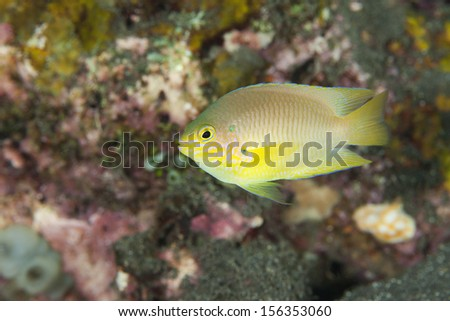 Golden Damsel (Amblyglyphidodon aureus) on a tropical coral reef in Bali, Indonesia.