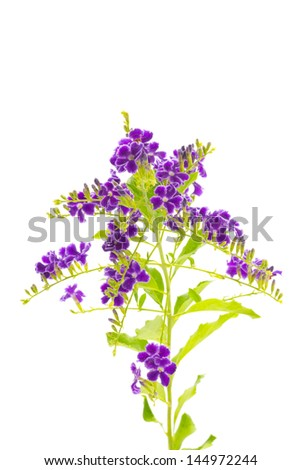 Golden Dew Drop, Pigeon Berry, Sky Flower ( Duranta erecta ) isolated on white background