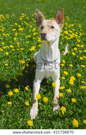 golden dog getting up from a field of dandelion
