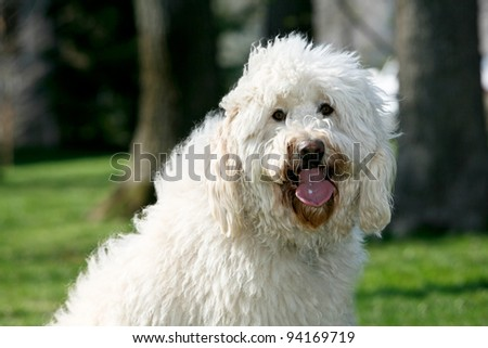 Golden Doodle Dog outdoors long fur