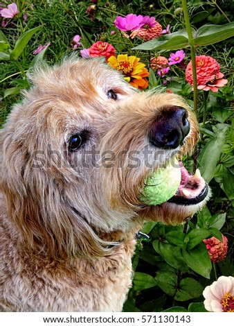 golden doodle dog with tennis ball in garden