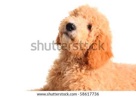 Golden doodle puppy isolated on white. - stock photo