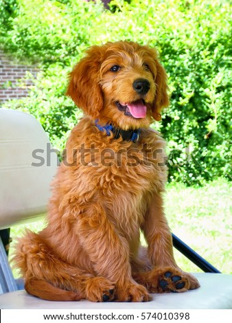 golden doodle puppy, mix of poodle and golden retriever, sitting in a golf cart