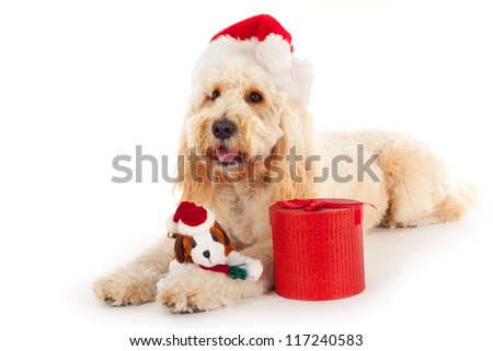 Golden doodle with christmas present and hat