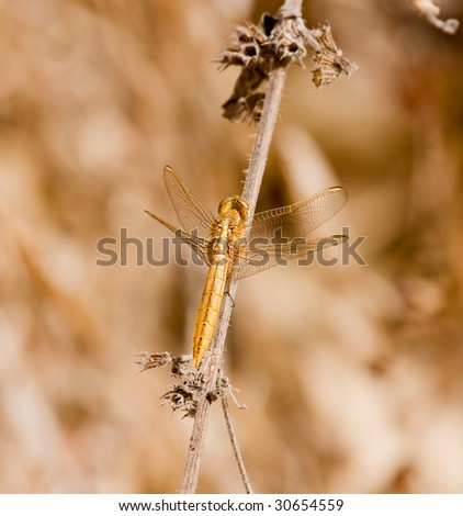 Golden Dragonfly at Simenti