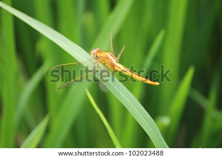 Golden dragonfly resting in rice field - stock photo