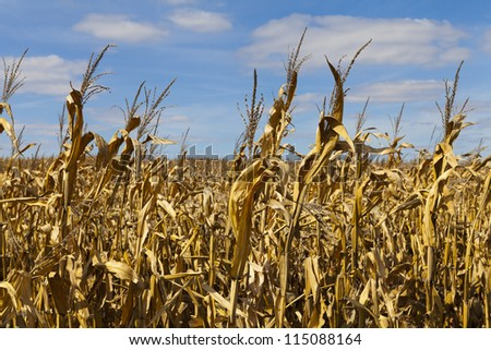 Golden Dry Corn On American Countryside - stock photo