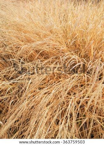 dry grass field background. Golden Dry Grass Field Background