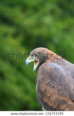 golden eagle - stock photo