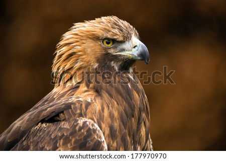 Golden Eagle against a background of blurred dark brown leaves/Golden Eagle/Golden Eagle
