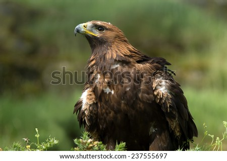 Golden Eagle against a background of green foliage/Golden Eagle/Golden Eagle (aquila chrysaetos)