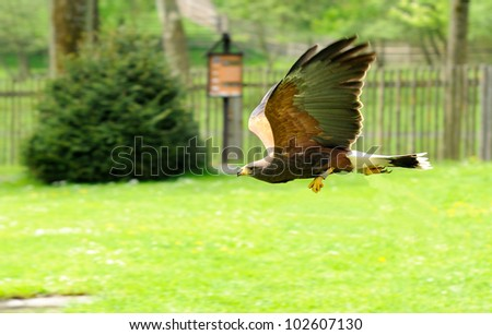 Golden Eagle (Aquila chrysaetos) during his flight.