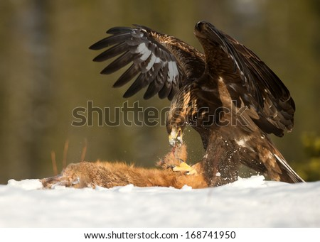 Golden Eagle (Aquila chrysaetos) feeding on a Red Fox high in the mountains in Norway. - stock photo