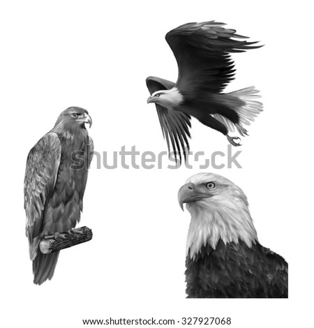 golden eagle (Aquila chrysaetos) orel skalni, merican bald eagle in flight isolated on white background, Black and white - stock photo