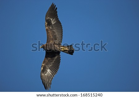 Golden eagle, Aquila chrysaetos, single bird in flight - stock photo