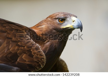 golden eagle attentive - stock photo