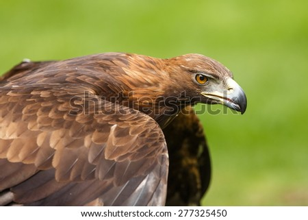 golden eagle before to fly - stock photo