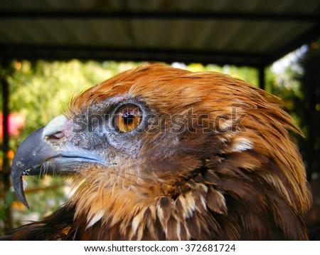 golden eagle close up. - stock photo
