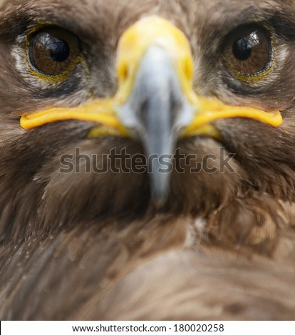 Golden eagle close up portrait - stock photo