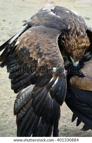 Golden eagle (erne, Aquilla Chrisaetos), an aggressive bird and a natural hunter, eating after a successful hunt, Kyrgyzstan - stock photo