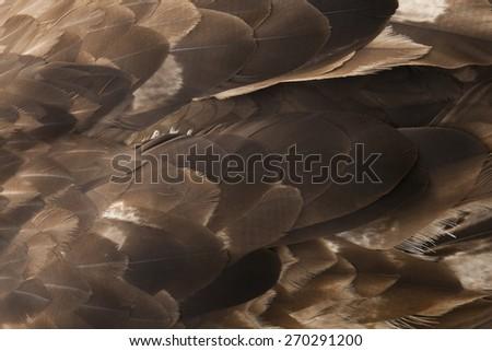 Golden Eagle Feather Texture   - stock photo