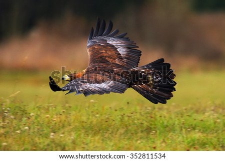 Golden Eagle, flying above flowering meadow, brown bird of prey with big wingspan, Norway - stock photo