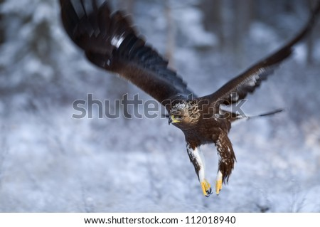 Golden eagle flying, closeup - stock photo
