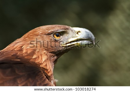 golden eagle from one side