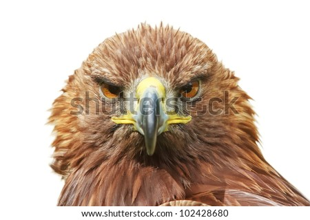 golden eagle front, isolated - stock photo