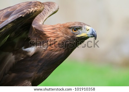 golden eagle has stretched wings - stock photo