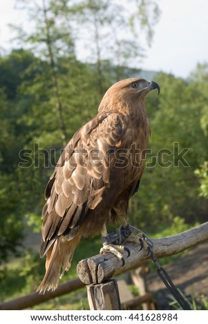 Golden Eagle in captivity