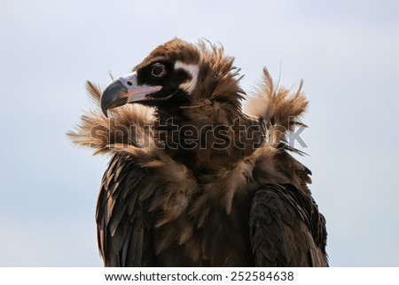 Golden Eagle in Mongolia hunting - stock photo