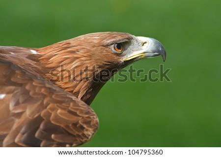 golden eagle in profile - stock photo